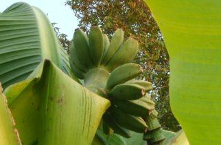 Banane rađaju u Miokusu